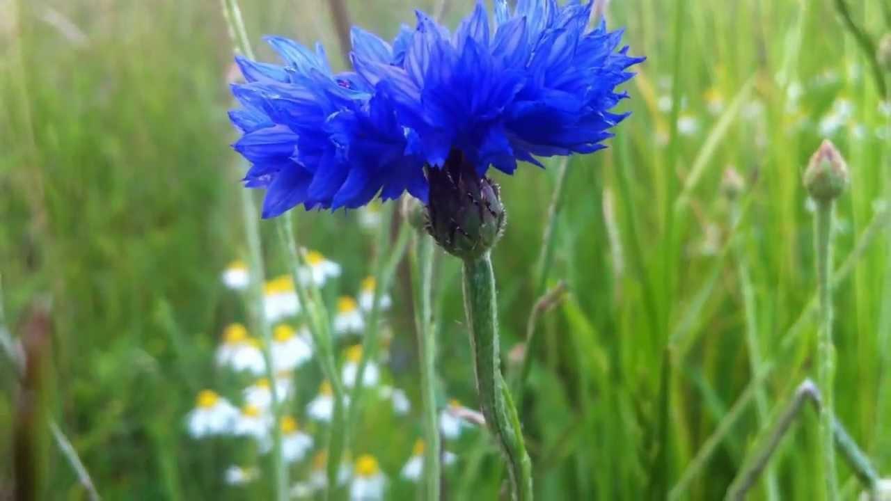 Dwarf Blue Cornflower