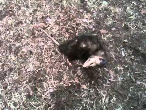 Possum On A Leash