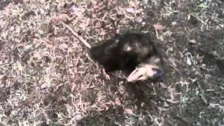 Possum Playing Dead