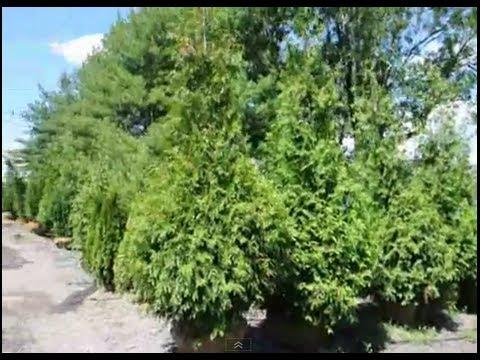 Hellish neighbor problems buy buffering trees in landscaping - Buffalo craigslist farm and garden ...
