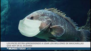 Los peces están aprendiendo a usar las mascarillas que hay en el océano | El Mundo Today 24H