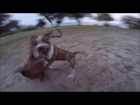 Амстаффтерьер против питбультерьера / Amstaffterrier Vs Pit Bull Terrier