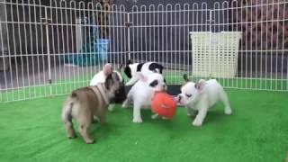 ХОЧУ СОБАКУ   Бульдоги Французы Щенки   French bulldogs