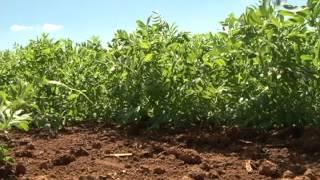 Hortaliças leguminosas para cultivo de inverno - Dia de Campo na TV