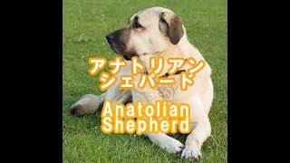 Anatolian Shepherd アナトリアン・シェパード トルコ原産 Turkish origin.