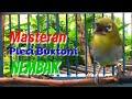 Masteran Pleci Buxtoni Nembak Sejalur Emosi Tinggi Toman Net  Mp3 - Mp4 Download