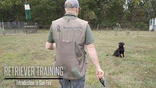 Introduce Your Labrador to Gunfire  Hunting Dog Training