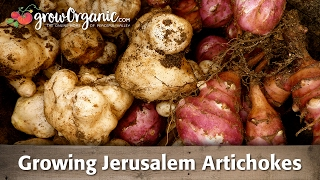 Growing Jerusalem Artichokes