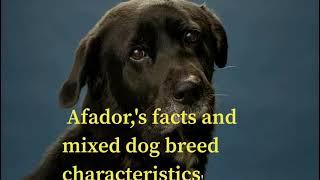 TOP CHARACTERISTIS OF AFADOR DOG BREEDS 2020