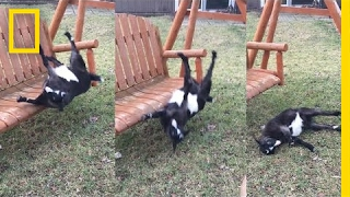 This Swing Is Just Too Much For Fainting Goat | National Geographic