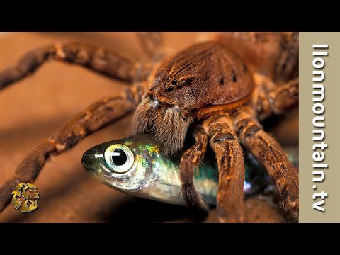 Fish-eating Spider Catching Fish  | CLASSIC WILDLIFE