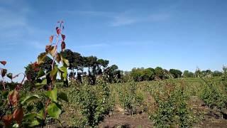 видео Системы формирования и обрезки яблони и груши в садах на сильнорослых подвоях