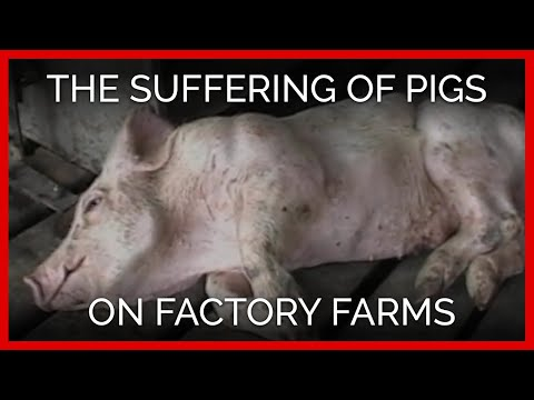 The Suffering of Pigs on Factory Farms