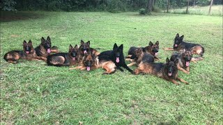 Living with 20 German Shepherds