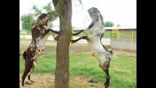 Goat Farming - concepts highlighted through our medium by Mev Agro & Livestock Farm [MALF], India