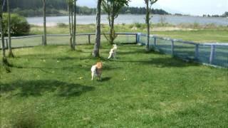 中・大型犬スペースのランには小型犬がわんさと遊んでいました。 かい(...