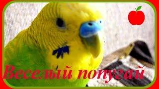 Самый веселый и смешной ручной попугай//Ручной волнистый попугай//Приколы с попугаем