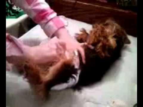 Yorkie Wears Diaper Youtube