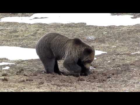 Grizzly Bear Digging for Voles in Yellowstone