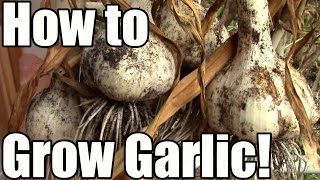 How We Grow, Cure & Store Garlic: From Clove to Bulb