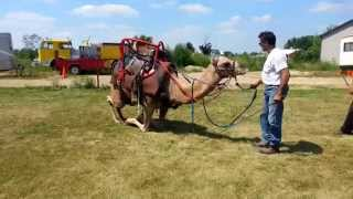 Call 815-600-6464 / Andreas Chicago Camel Guy!,Animal Rentals,Animal Rental,America,US,United States