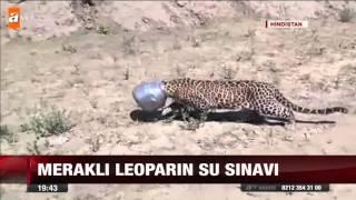 Meraklı leoparın su sınavı - atv Ana Haber