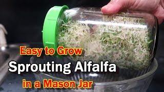 Sprouting Alfalfa in a Mason Jar:  Easy, Quick, Healthy!