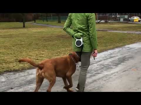 Training a dog reactive dog - Montreal Dog Training