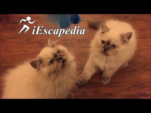 Funny Persian cats