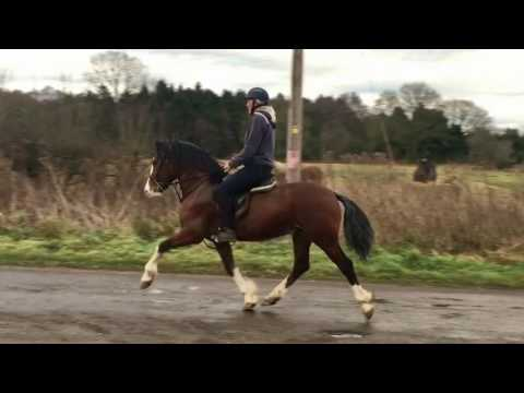 4Year Old Welsh Section D Stallion by Danaway Tango