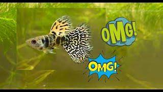 Guppy King Cobra Tiger Yellow Tiger Guppy Guppy Yellow Love Fish Tv Youtube