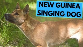 New Guinea Singing Dog  TOP 10 Interesting Facts