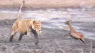 Lions Hunt & Attack Impalas at Waterhole
