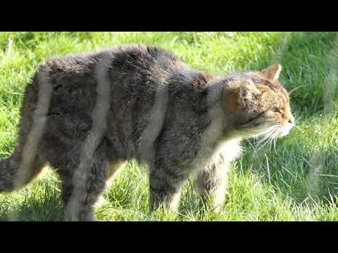4k scottish wildcat