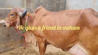 GIR COW ..SEE THIS VIDEO AHLAW…