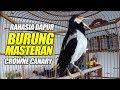 Burung Masteran  Ampuh Jalak Suren Untuk Burung Kenari Cepat Gacor  Mp3 - Mp4 Download