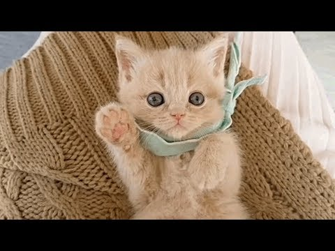 British Shorthair Kitten You Can't Ignore