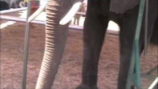 Liebel/liebling Circus With Nosey ( Aka Tiny Aka Peanut )  The Elephant  In Eagle Lake, Fl 3-26-2010