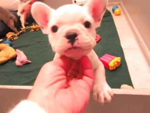 French Bulldog Puppies ~ Oregon French Bulldog Breeders ~ Ally and Baron Pups