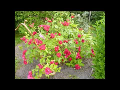 Как прививать розы к шиповнику - пошагово