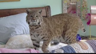 Woman gets to keep pet bobcat under one condition