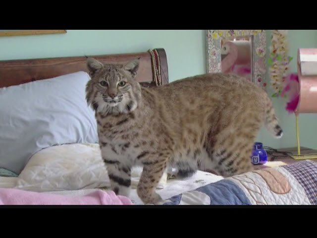 Woman Gets To Keep Pet Bobcat Under One Condition Youtube