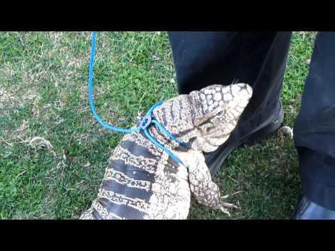 Thumbnail: Tegu Attention- Tegu returns to owner for comfort pt 1 (HD)