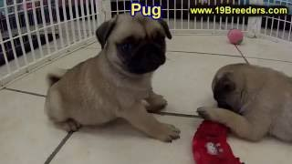 Pug Puppies For Sale, In Macon, Georgia, Ga, Athens,augusta, Columbus