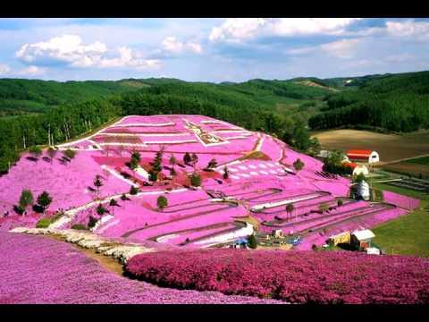 Japanese Flower Garden In Shibazakura