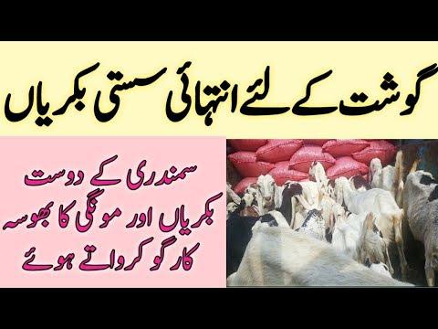 Goat Farming For Meat In Pakistan || Best Goat For Meat ||goat For Meat In India