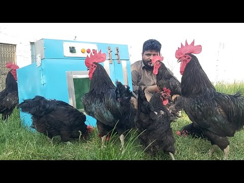Free Range Chicken Farming + egg incubator For Sale, Hsn Entertainment