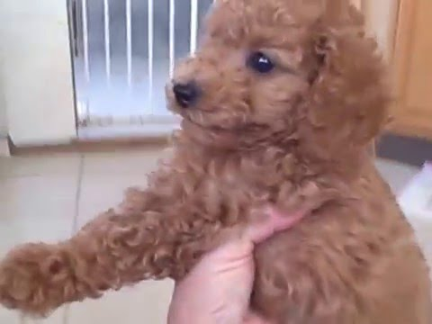 Red And Apricot Poodle Puppies