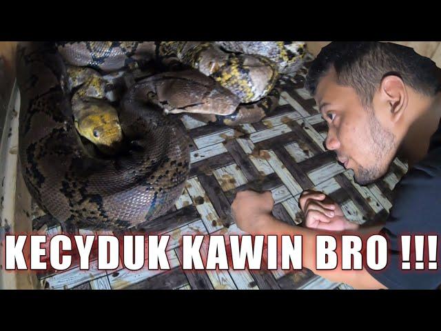 PUASA KOK MALAH KAWIN/PROSES PERKAWINAN PYTHON JUMBO