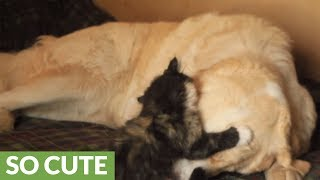 Fearless kitten plays with livestock guard dog